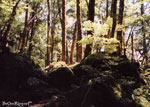[ Beech Forest Dart River ]