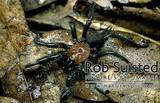 Black Tunnelweb Spider